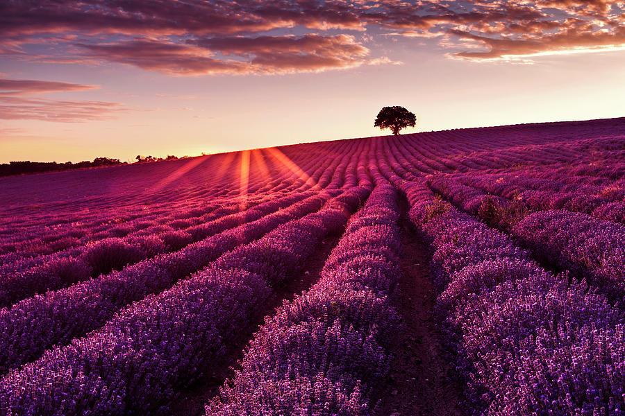 Lavender Tree by Evgeni Dinev