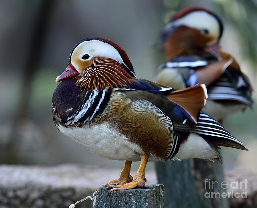 Feet Photograph - Amazing Mandarin Duck Aix Galericulata by Super Prin