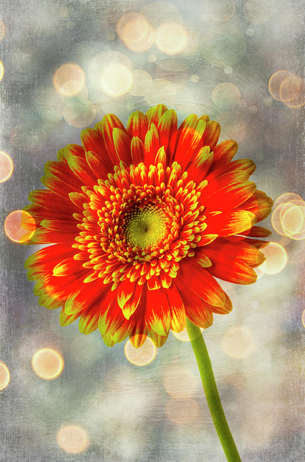 Moody Photograph - Amazing Orange Yellow Daisy by Garry Gay
