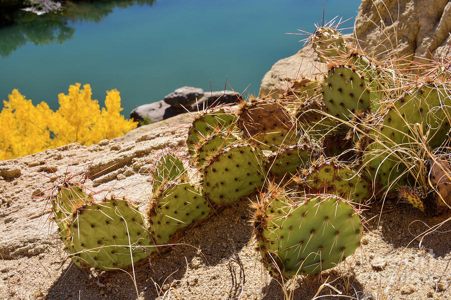 Amazing Prickly Pear Cactus Above San Juan River In Autumn