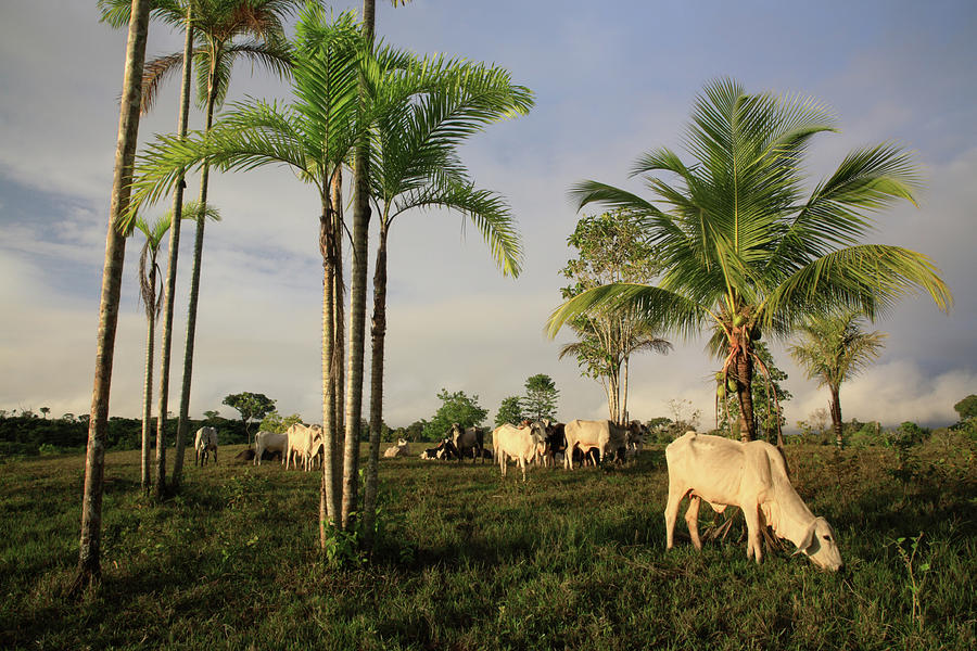 Amazon Tropical Rainforest With Cattle Photograph by G01xm