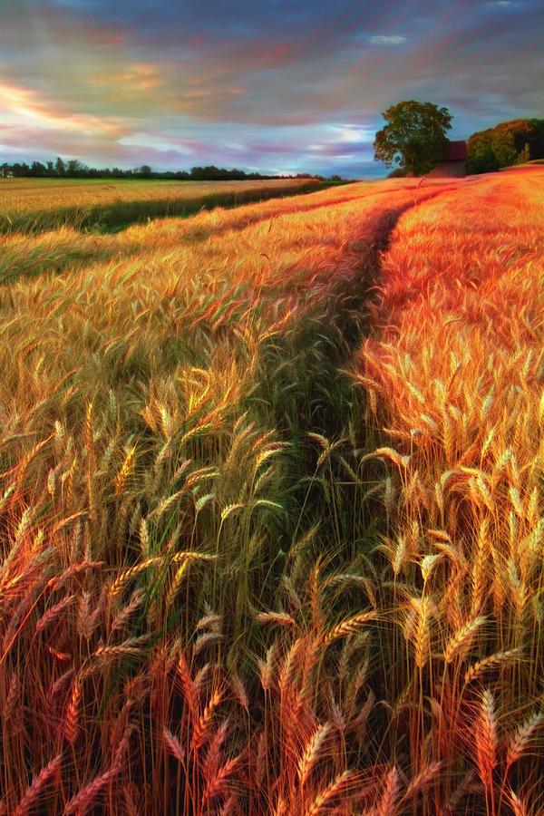 Amber Waves of Grain Watercolors Painting  by Debra and Dave Vanderlaan