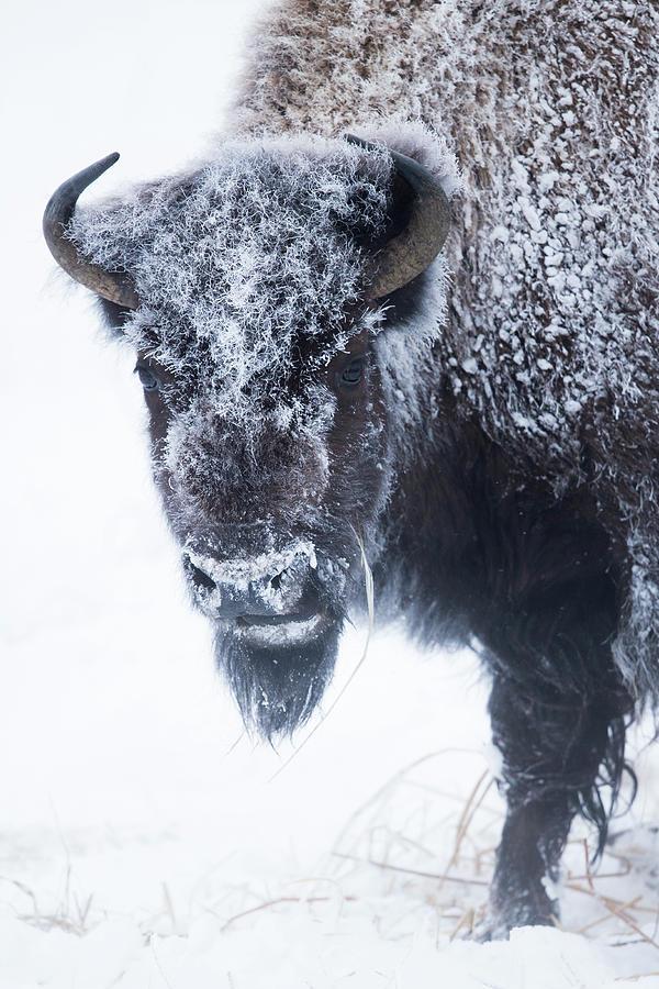 America Bison In Winter, Yellowstone Photograph by Sebastian Kennerknecht
