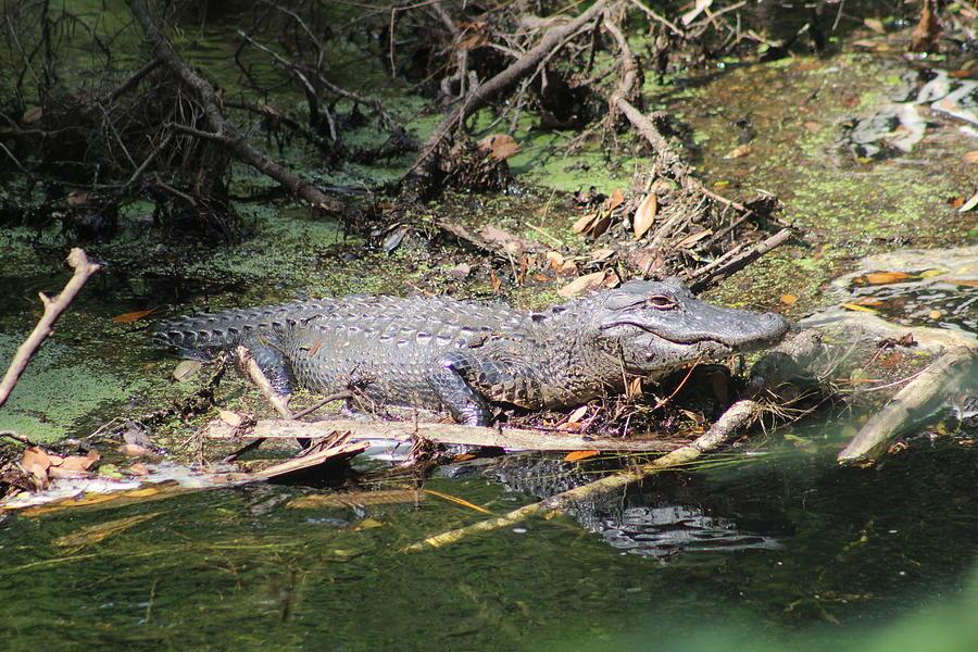 American Alligator by Callen Harty