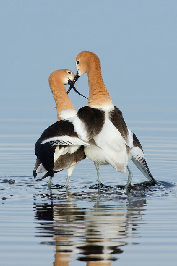 American Avocet Photograph - American Avocets, Courtship Dance by Ken Archer