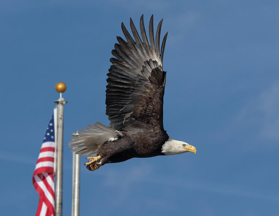 American Bald Eagle with Flag by Rick Mosher