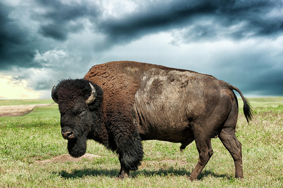 American Bison Against Stormy Sky Photograph by Mike Hill