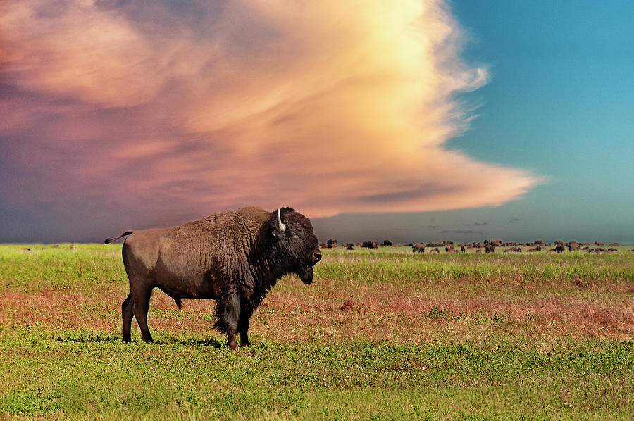 American Bison At Sunset Photograph by Mike Hill