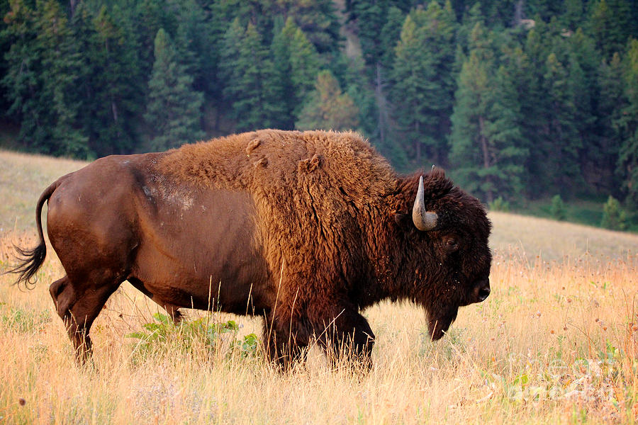 Symbol Photograph - American Bison Buffalo Side Profile by Steve Boice