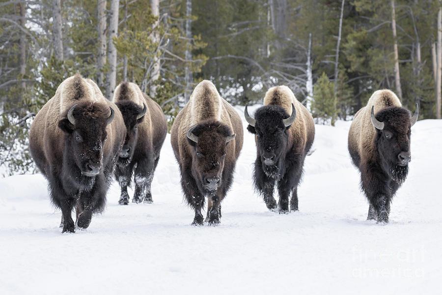 Usa Photograph - American Bison by David Osborn