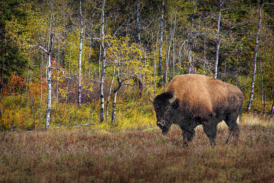 American Bison in October out West by Randall Nyhof