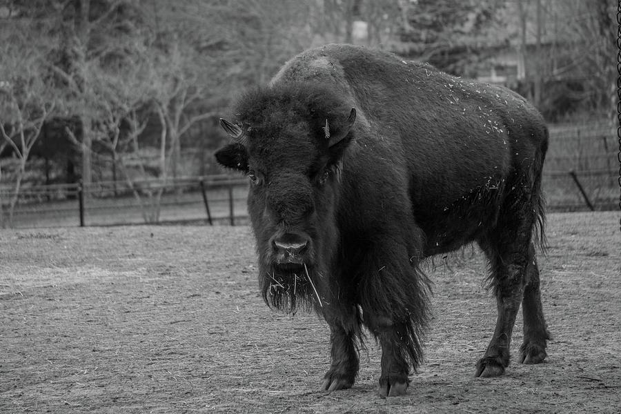 American Bison by Linda Howes