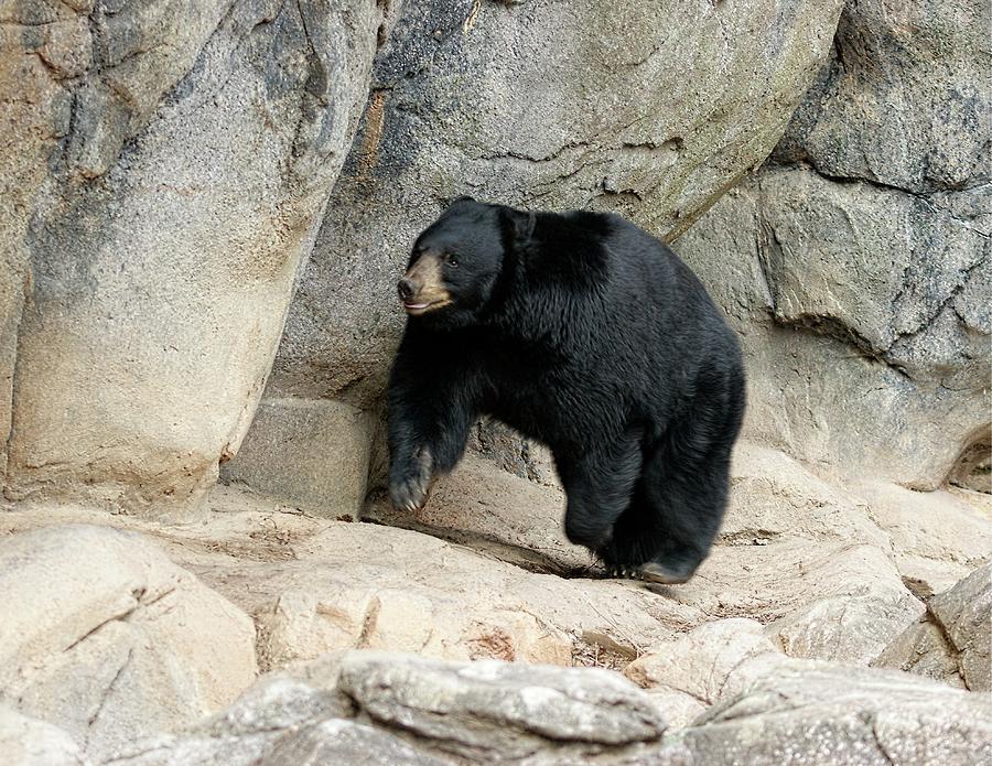 American Black Bear by Bob Mullins