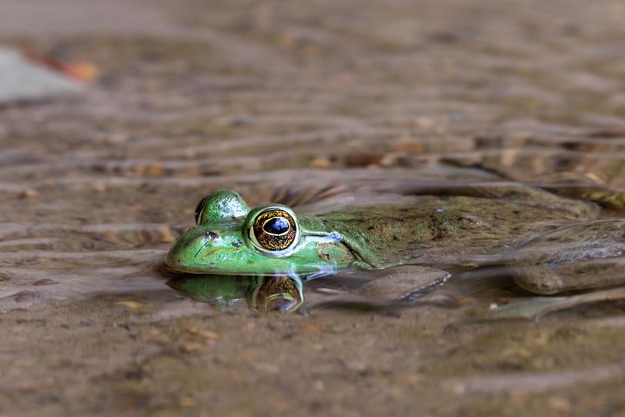 Adult Photograph - American Bullfrog Lithobates by Ivan Kuzmin