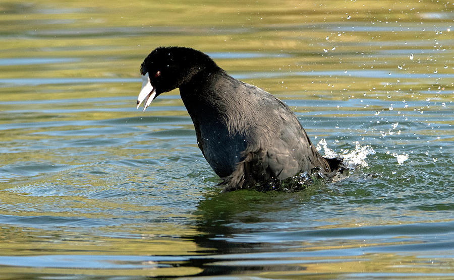 American Coot 2175-102019 by Tam Ryan