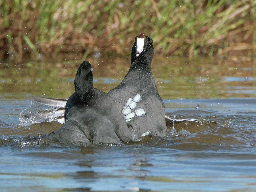American Coot Fight 2263-102019 by Tam Ryan