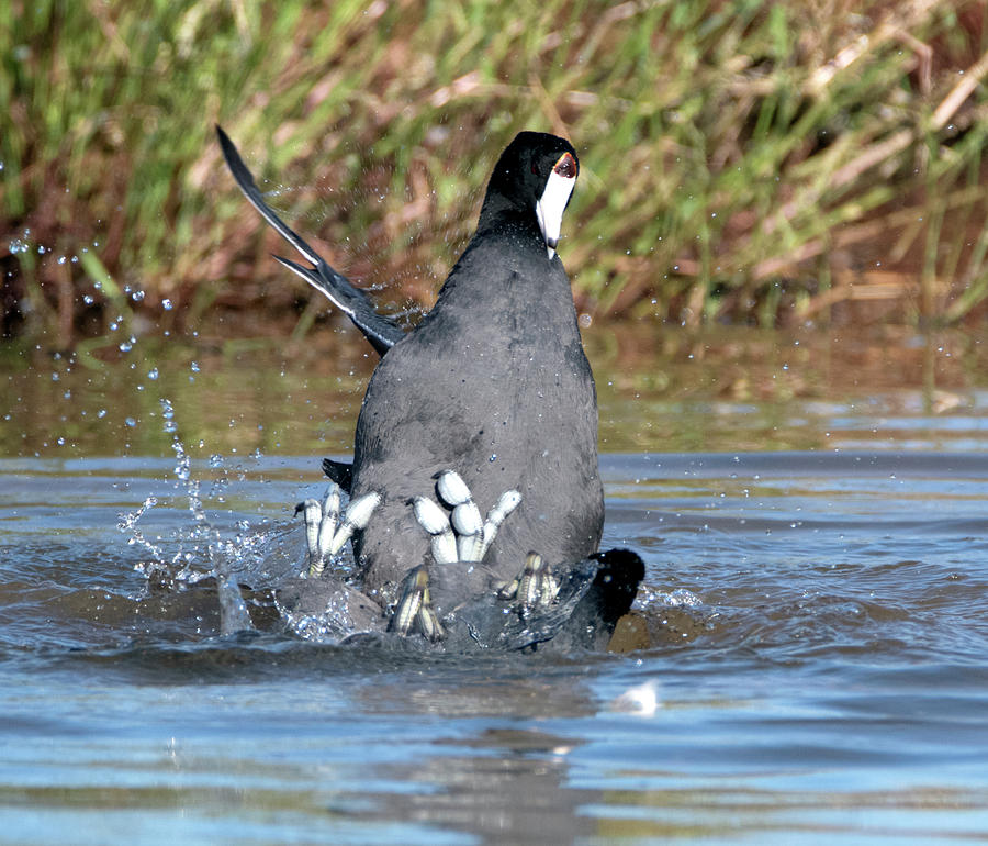 American Coot Fight 2269-102019 by Tam Ryan