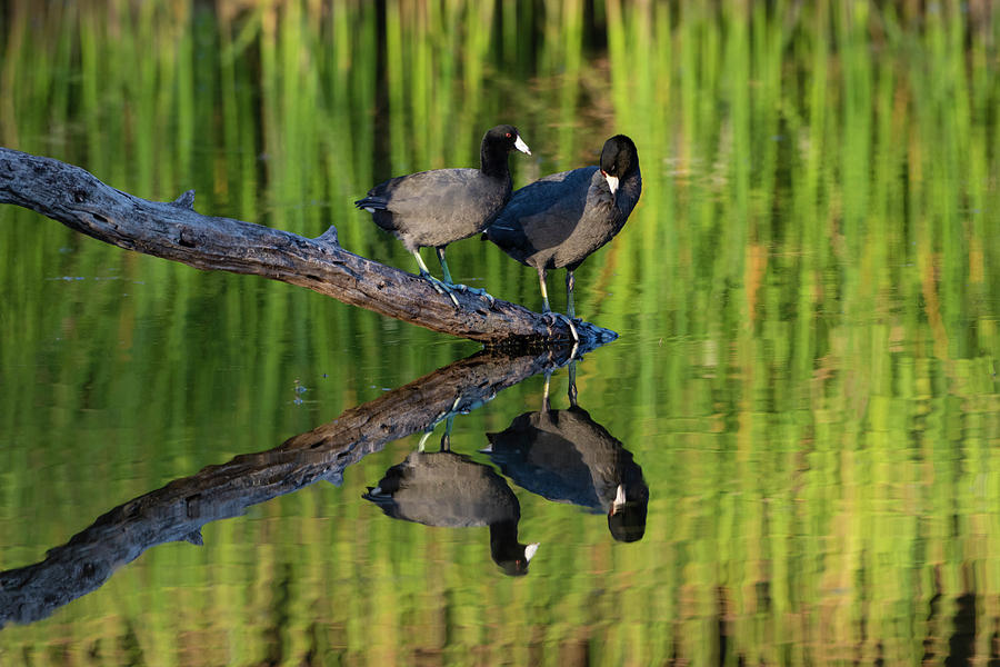 Adult Photograph - American Coot In Pond by Larry Ditto