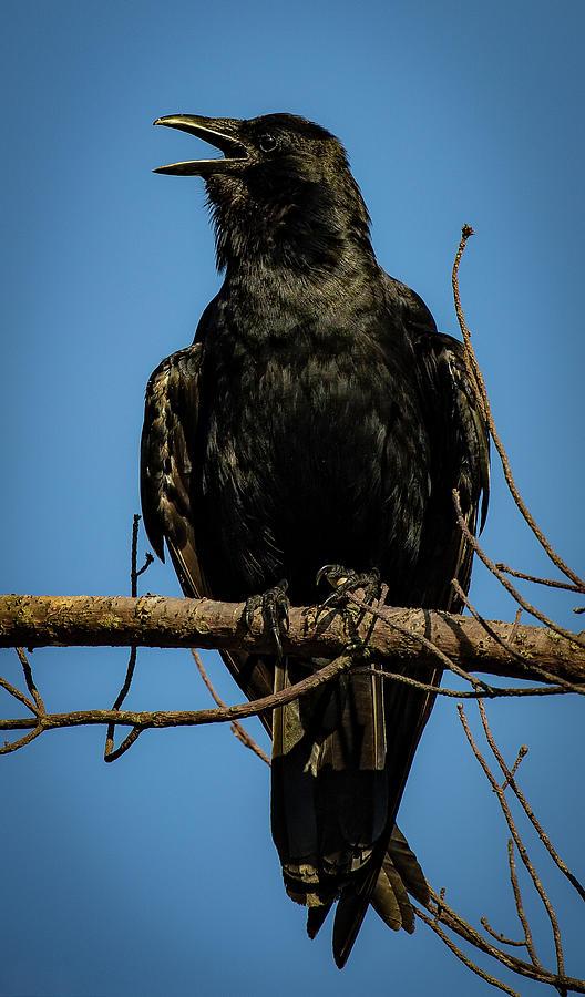 American Crow by Lora J Wilson