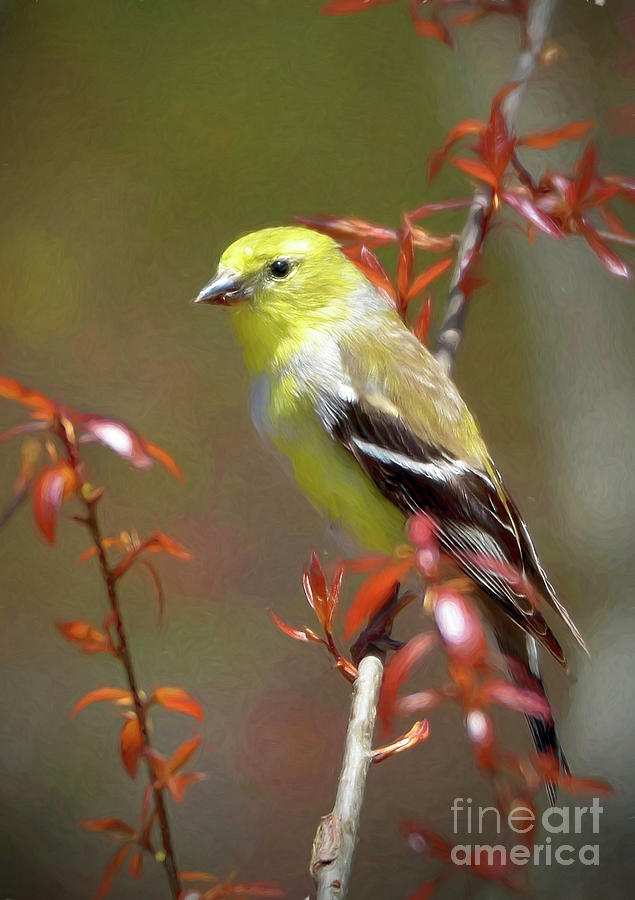 American Gold Finch by Kathy Baccari