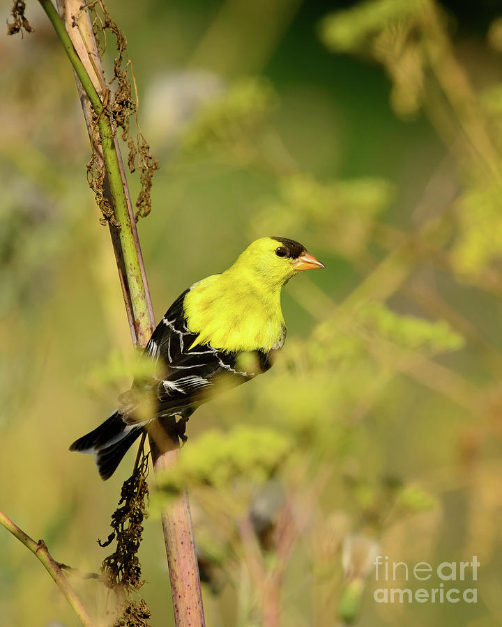 American Goldfinch Back View by Timothy Flanigan