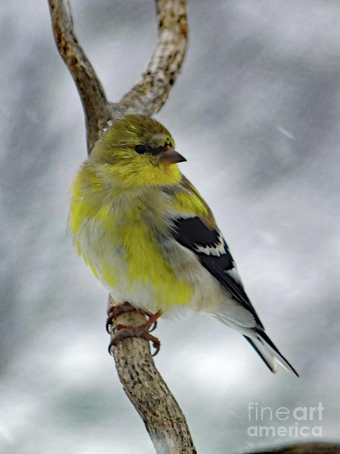 American Goldfinch In The Spring Photograph