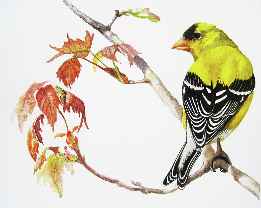 American Goldfinch  by Linda Apple