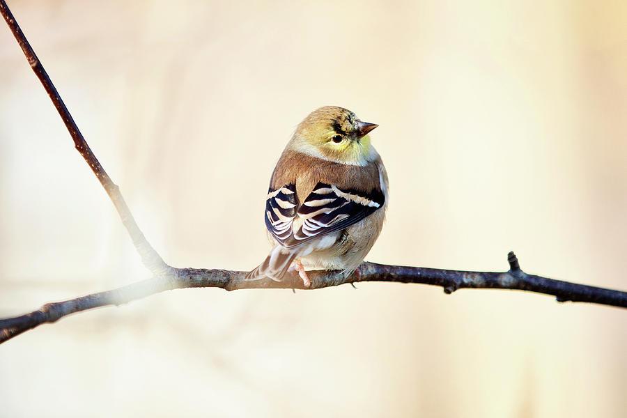 American Goldfinch by Sue Collura