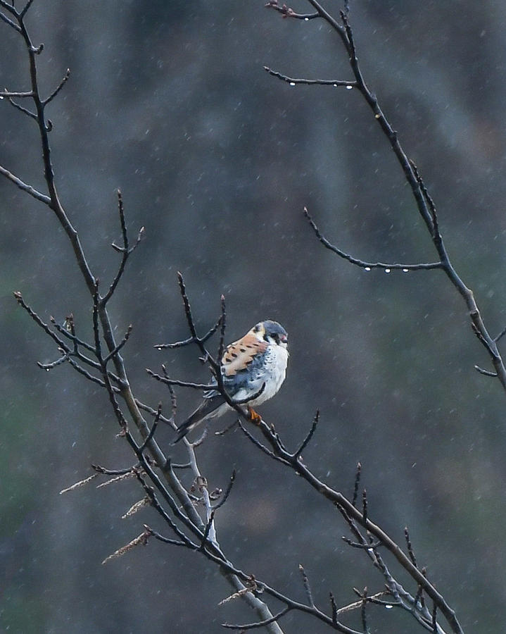 American Kestrel in the rain by Hershey Art Images