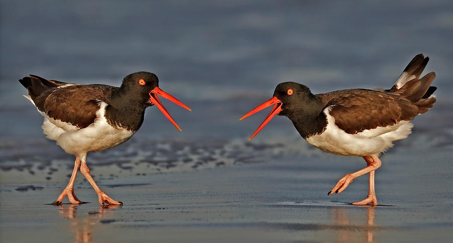 American Oystercatchers by Susan Candelario