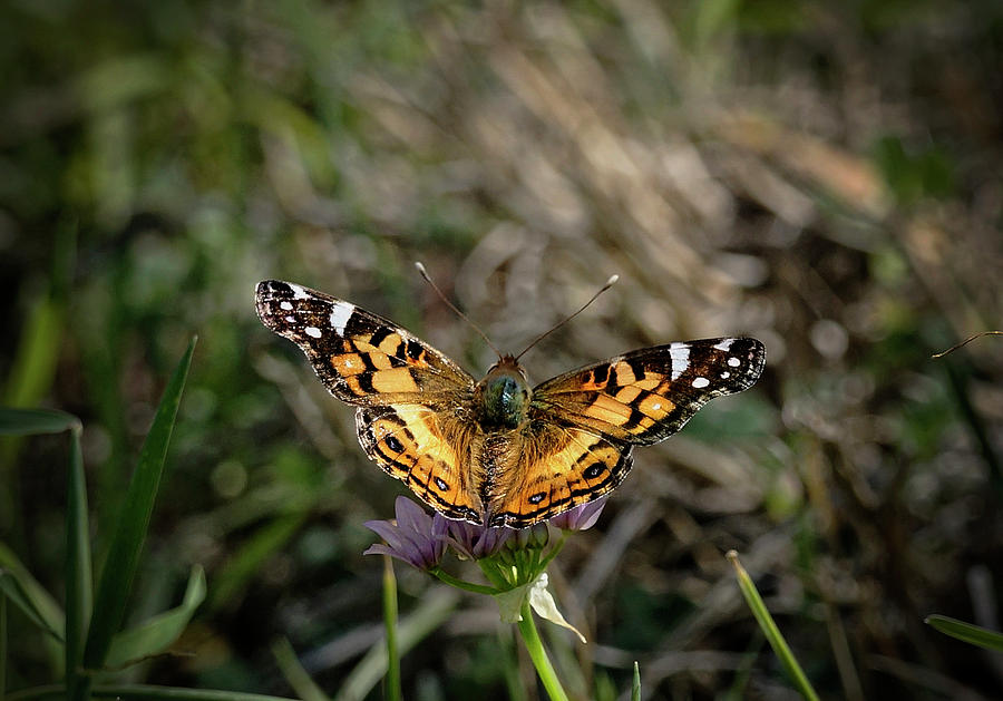 American Painted Lady by Betty Depee