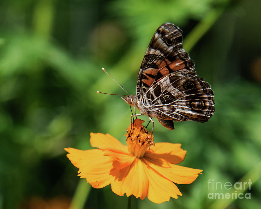 American Painted Lady On Golden Cosmos Photograph