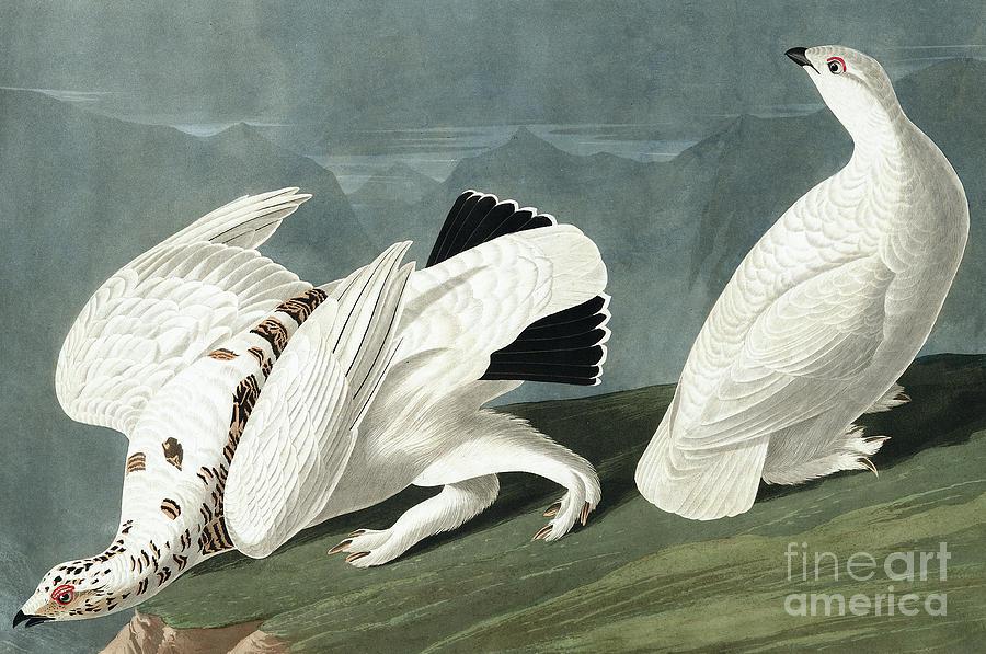Ptarmigan Painting - American Ptarmigan, Tetrao Mutus, White Tailed Grous, Tetrao Leucurus by John James Audubon