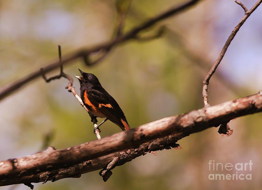 American Redstart by Sheila Skogen