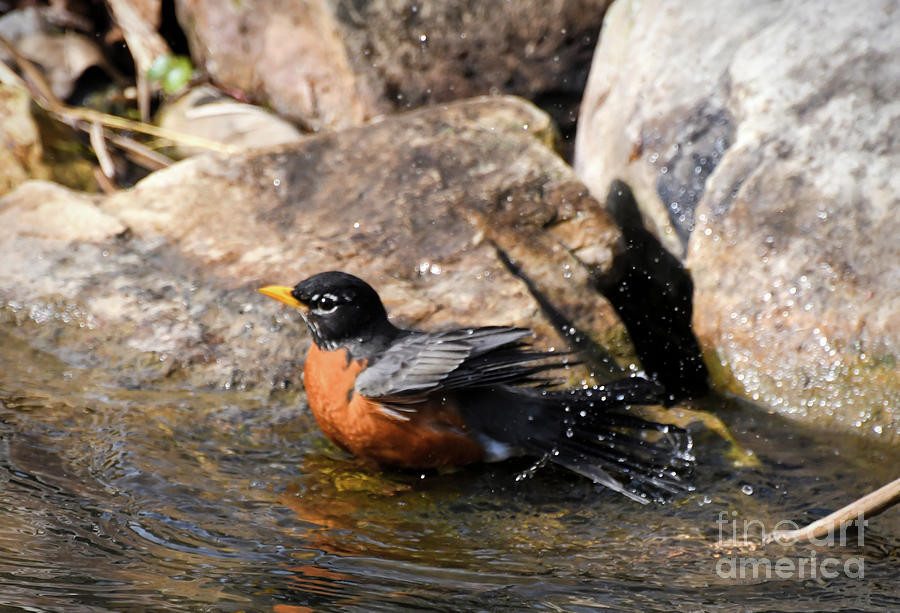 American Robin - A Bathing Beauty by Kerri Farley