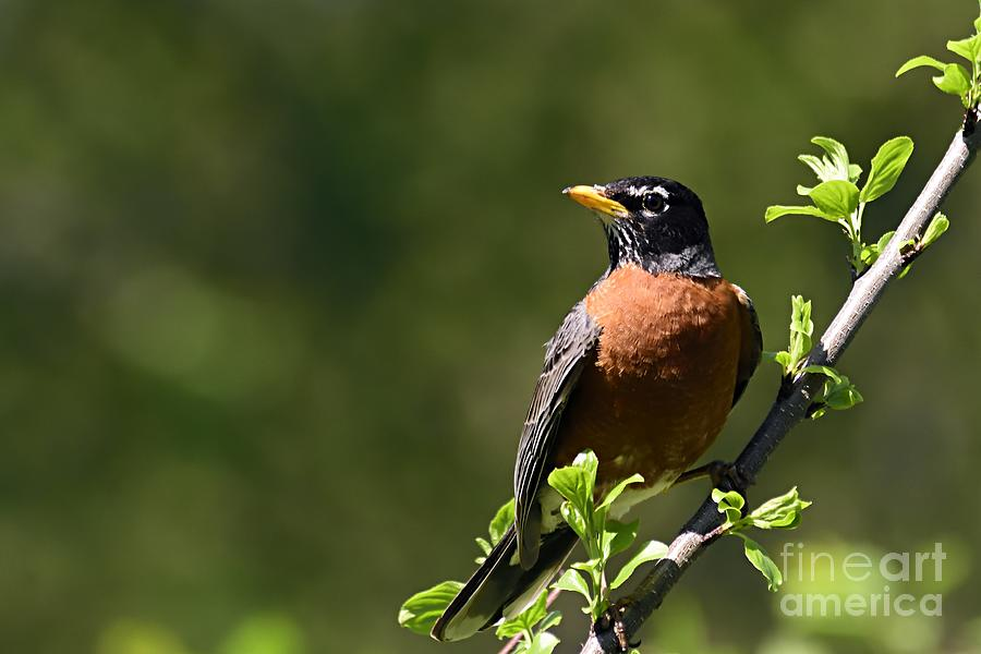 American Robin by Larry Ricker