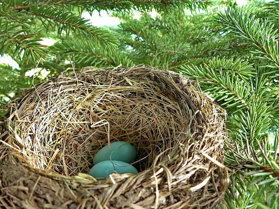 Robin Photograph - American Robin Nest by Lyuba Filatova