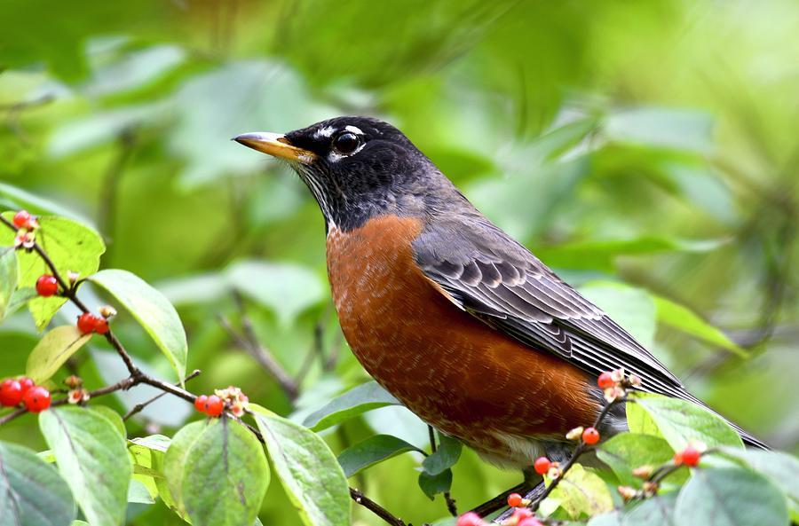 American Robin with Berries by Sonja Jones