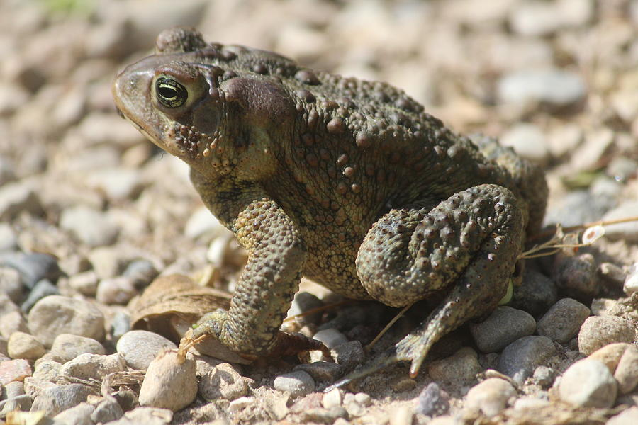 American Toad Photograph - American Toad by Callen Harty
