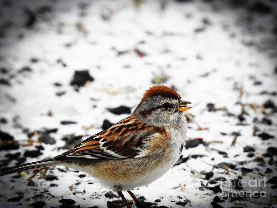 American Tree Sparrow by Eunice Miller