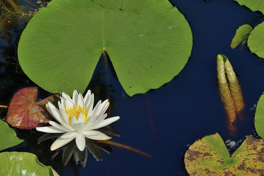American Water Lily by Bradford Martin