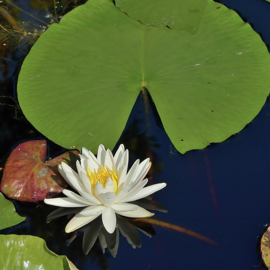 American Water Lily-Square by Bradford Martin