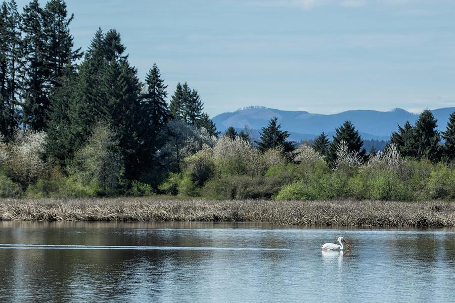 American White Pelican at Fern Ridge by Belinda Greb