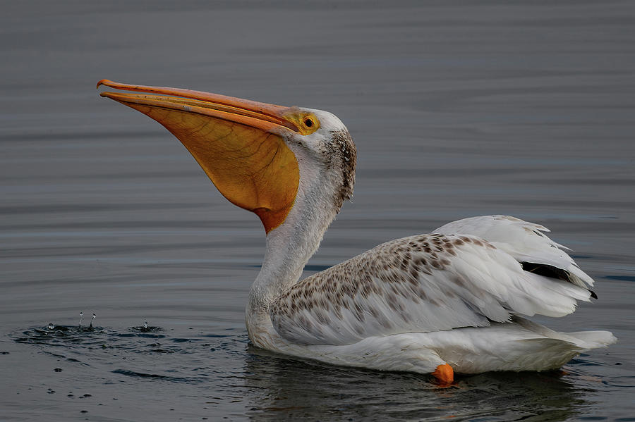 American White Pelican by Mike Gifford