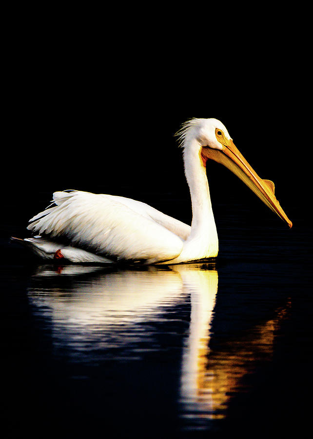 American White Pelican by Norman Peay