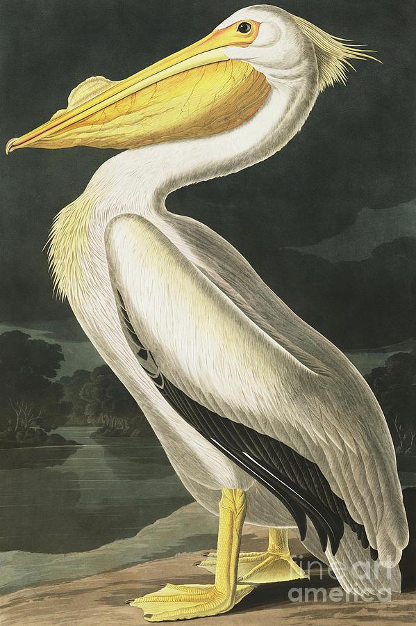 Pelican Painting - American White Pelican, Pelecanus Erythrorhynchos By Audubon by John James Audubon