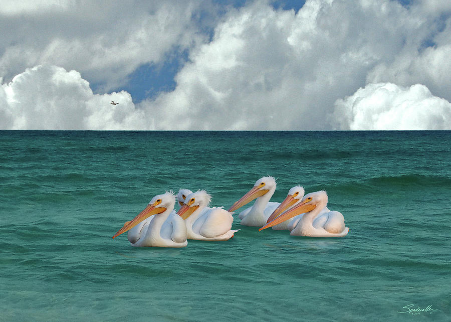 American White Pelicans of Florida by Spadecaller
