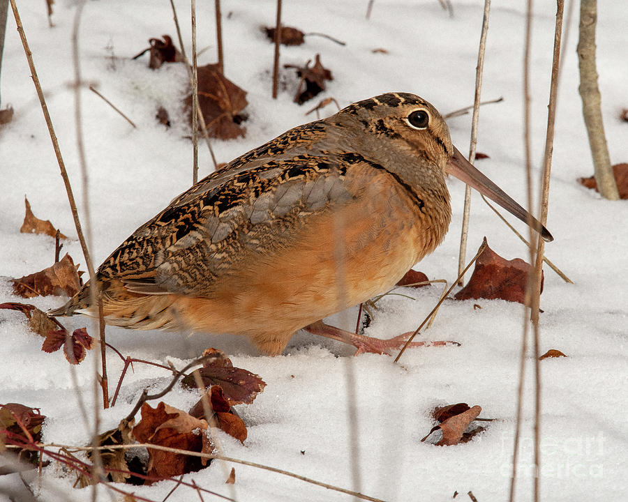 American Woodcock and Upright Stems by Timothy Flanigan