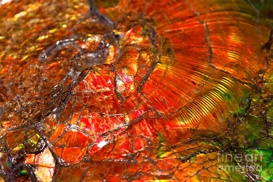 Ammolite fossil by Sue Harper
