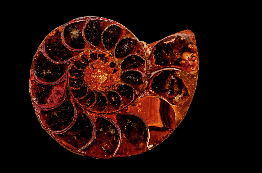 Ammonite Photograph - Ammonite Fossil by Lonnie Paulson
